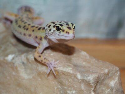 Quadro Pouco gecko do leopardo em uma pedra. fechar-se