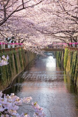 Quadro PREÇO / INFO Adicionar à Mesa de Luz cereza, flor, alinhado, Meguro, canal, Tóquio, Japão