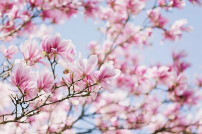 Quadro Primavera! Magnólia em flor