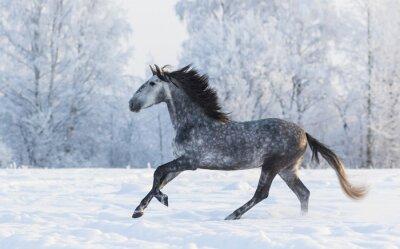 Quadro Purebred, cavalo, galope, através, Inverno, nevado, prado