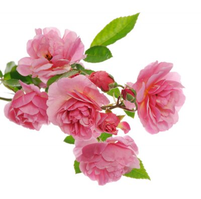 Quadro Ramo de rosa subindo rosa
