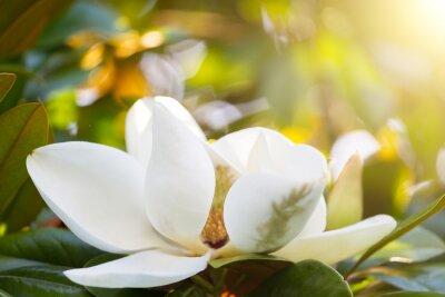 Quadro Ramo, flor, branca, magnólia, fim, cima