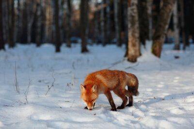 Quadro Raposa vermelha na floresta do inverno