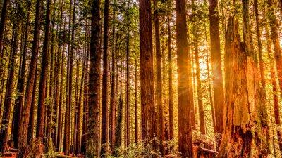 Quadro Redwood Sun