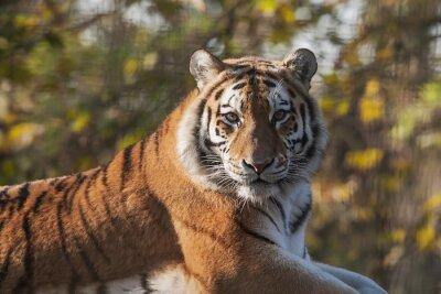 Quadro Resting Tiger indiano