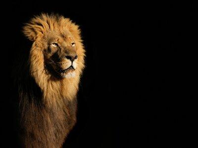 Quadro Retrato de um leão africano masculino grande (Panthera leo) de encontro a um fundo preto, África do Sul.
