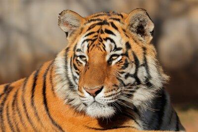 Quadro Retrato de um tigre de Bengal (bengalensis do tigris do Panthera).