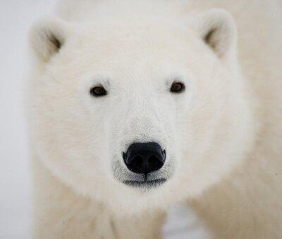 Quadro Retrato de um urso polar. Fechar-se. Canadá. Uma excelente ilustração.