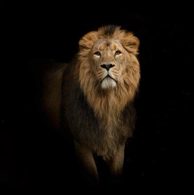 Quadro Retrato do leão no preto