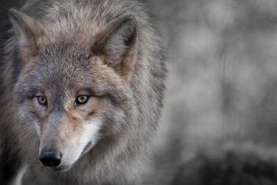 Quadro Retrato do lobo de Grauer 4
