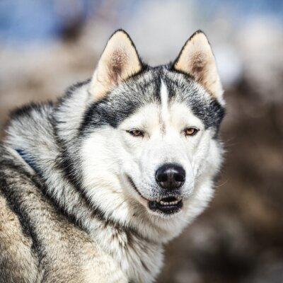Quadro Retrato, trenó, cão, ronco, cão