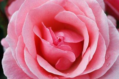 Quadro Rosa rosa