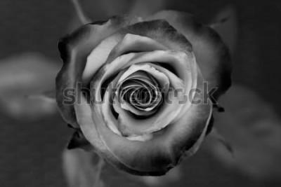 Quadro Rosa. Rosa preto e branco decorativa. Flor romântica elegante.