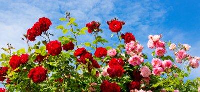 Quadro Rosas de escalada vermelhas e cor-de-rosa.