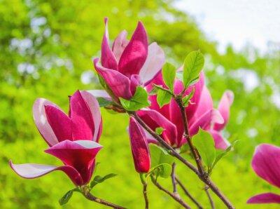 Quadro Roxo, magnólia, flor, ramo, fundo