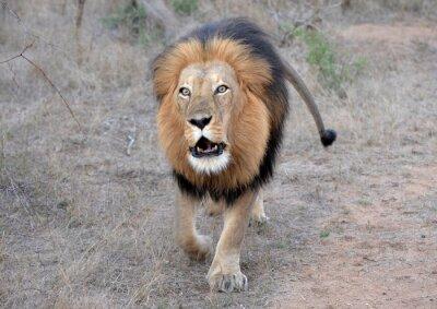 Quadro Rugido do leão