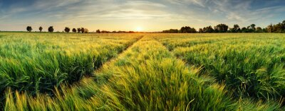 Quadro Rural landscape with wheat field on sunset