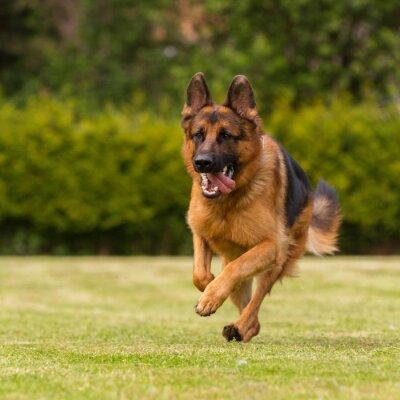 Quadro Schaeferhund läuft Wiese