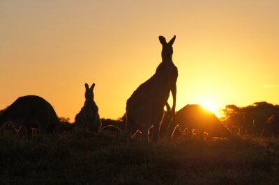 Quadro Silhuetas do canguru no por do sol