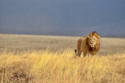 Quadro Solitária Lion