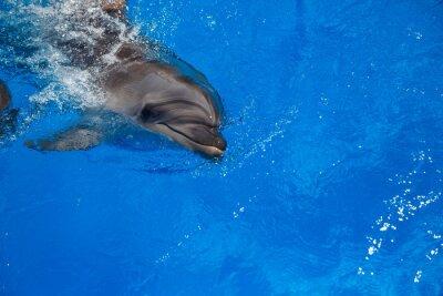 Quadro Sorrindo golfinho. Golfinhos nadam na piscina