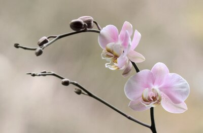 Quadro Storczyk - Orchidea