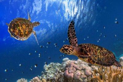 Quadro Tartaruga de mar maldiva flutuando