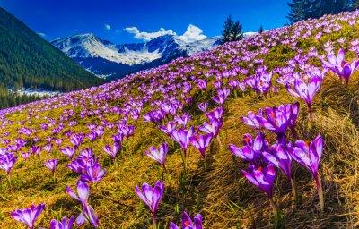 Quadro Tatra Mountains, crocuses in the Chocholowska Valley