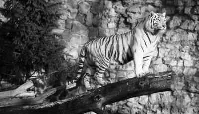 Quadro Tigre branco que está em um registro sobre uma abertura (em preto e branco, estilo do vintage)