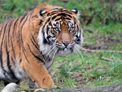 Quadro Tigre de Sumatra