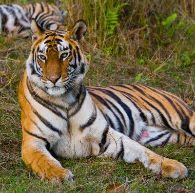 Quadro Tigre selvagem que encontra-se na grama. Índia. Bandhavgarh National Park. Madhya Pradesh. Uma excelente ilustração.