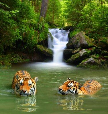 Quadro Tigres siberianos na água