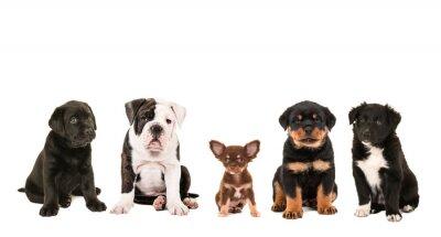 Quadro Todo o tipo da raça diferente bonito de cães de filhote de cachorro isolados em um fundo branco, como uma chihuahua, rottweiler, border collie, Labrador e um buldogue inglês