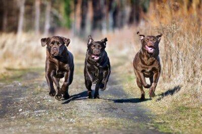 Quadro Três, felizes, cães, executando, junto