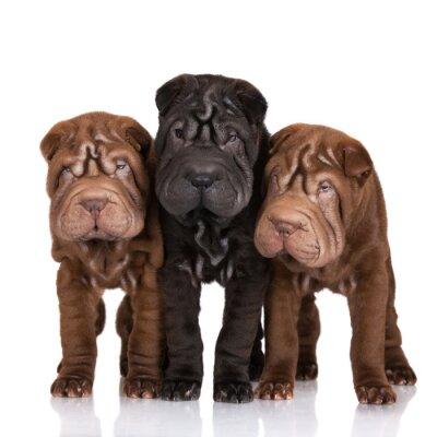 Quadro Três filhotes de cachorro shar-pei no branco