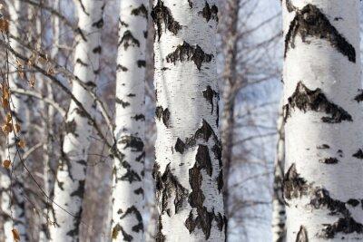 Quadro tronco de bétula na natureza