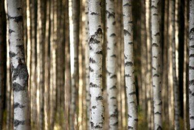 Quadro troncos de árvores de vidoeiro