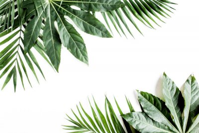 Quadro Tropical palm leaves Aralia isolated on white background. Tropical nature concept.