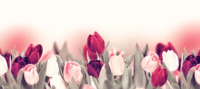 Quadro Tulip colorful flower panoramic border on white