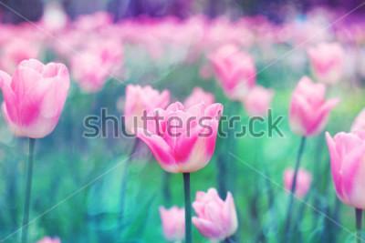 Quadro Tulipas cor-de-rosa das flores iluminadas pela luz solar. Foco suave suave, tonificação. Fotos da foto brilhante