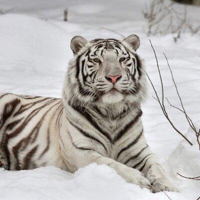 Quadro Um tigre de bengal branco, encontro calmo na neve fresca. O animal mais bonito e muito perigoso animal do mundo. Esta ave de rapina grave é uma pérola da vida selvagem. Retrato da face do animal.