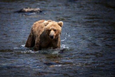 Quadro Um urso marrom do Alasca viaja através do rio dos ribeiros na busca do salmão.