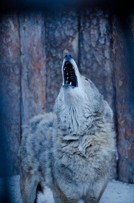 Quadro Urro lobo (em tons azuis, estilo retro, DOF raso)