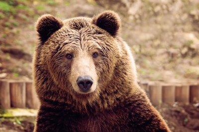 Quadro Urso