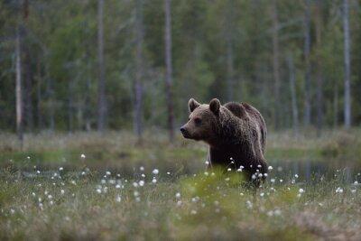 Quadro Urso de Brown (arctos do Ursus) na amarre com fundo da floresta. Urso de Brown no pântano com fundo da floresta. Taiga. Finlândia.