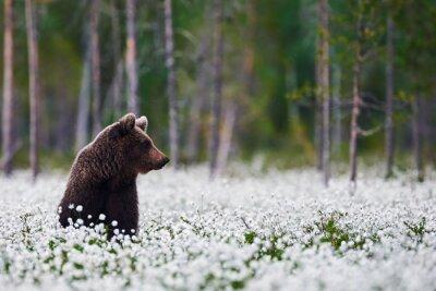 Quadro Urso de Brown entre grama de algodão