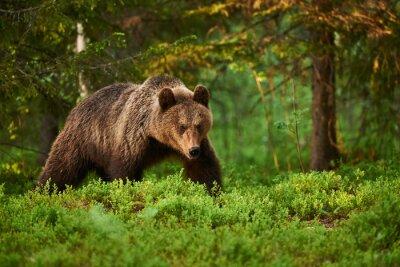 Quadro Urso, floresta