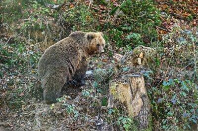 Quadro Urso marrom Carpathian