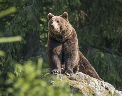 Quadro urso marrom macho