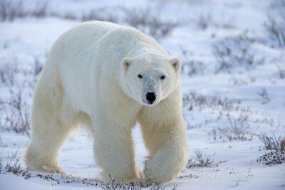 Quadro urso Polar